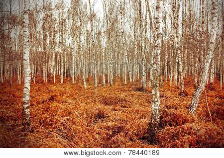 Retro Style Picture Of Autumn Birch Grove With Red Fern.