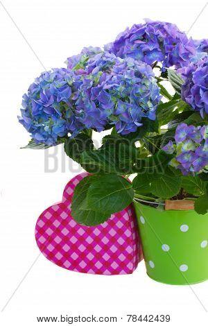 blue hortensia flowers in green pot