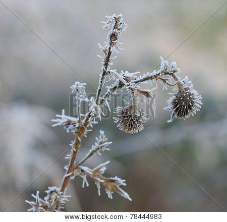 Frozen Flower In December Sun Morning