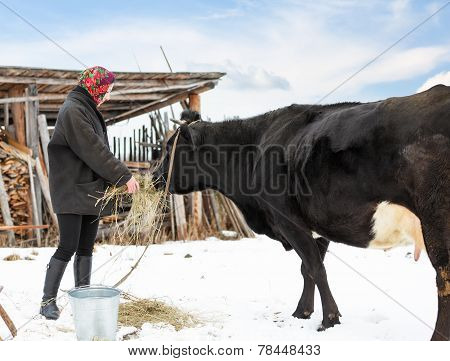 farmer in winter clothes fed cows