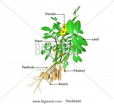 Peanut plant