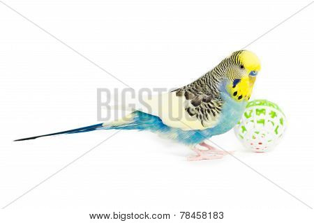 Picture of a Budgie Playing