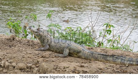 Yacare Caiman with closed jaws on a sandbank in Pantanal