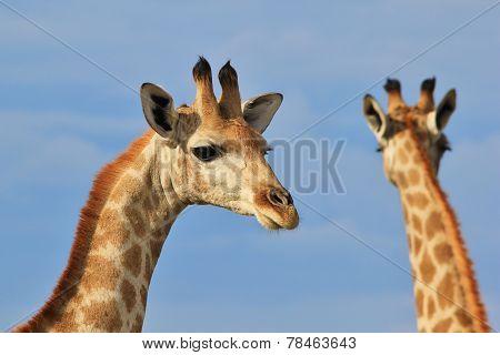 Giraffe - African Wildlife Background - Portrait of Beauty