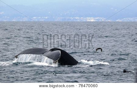Humpback Whale tail breach