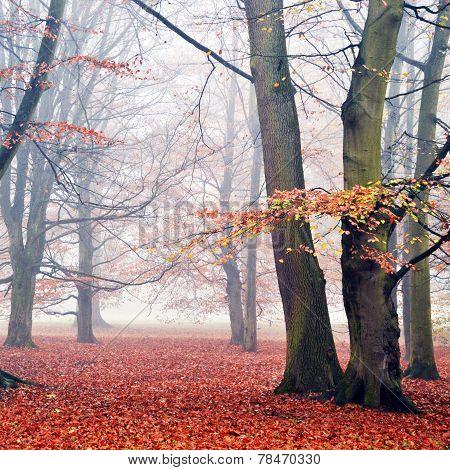 Beech Trees In The Fog.