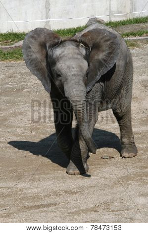 One-year-old African elephant calf (Loxodonta africana).