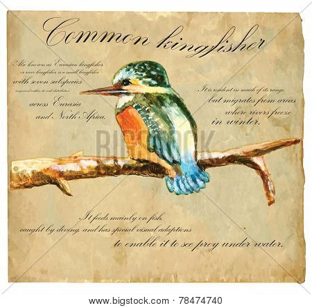 Hand Painted Illustration (vector), Bird: Kingfisher