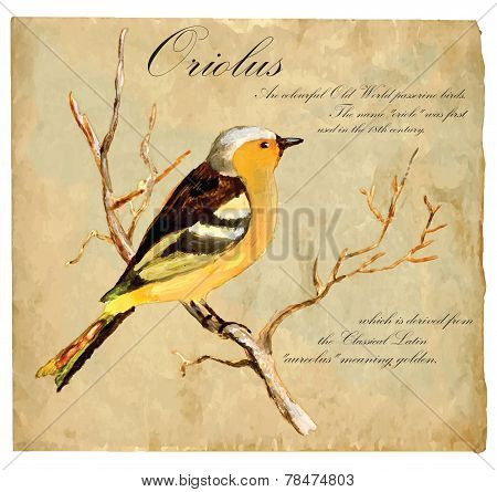 Hand Painted Illustration (vector), Bird: Oriolus
