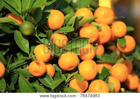citrus fruits grow on tree