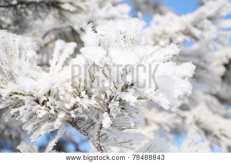 Firtree Tree In Fluffy Hoarfrost