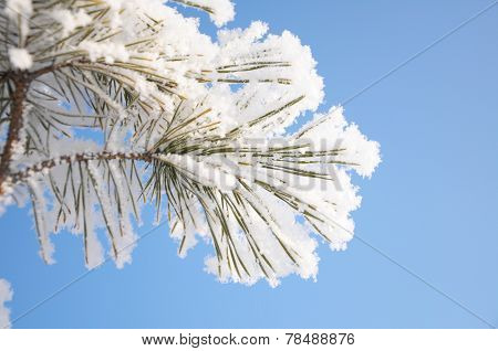 Firtree Branch In Hoarfrost