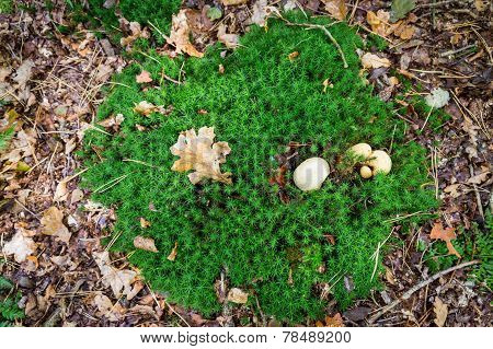 Patch Of Moss With An Earth Ball Mushroom