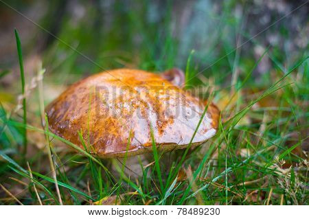 Bay Bolete Or Boletus Badius Growing Between Grass