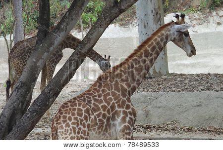 Two Giraffes.