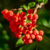 pic of rowan berry  - Red berries on a mountain ash or rowan tree - JPG