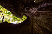 picture of hollow  - View from inside a hollow tree trunk looking up to the canopy above - JPG
