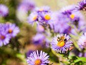 foto of pollen  - Bee gathering pollen  closeup on purple aster flower - JPG
