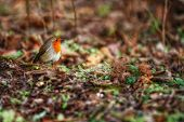 foto of robin bird  - Robin bird in green grass posing in front of a blurred background - JPG