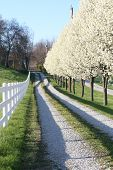 image of driveway  - Blossoming pear trees line a gravel driveway - JPG