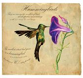 picture of hummingbirds  - An hand painted illustration into vector picture - JPG