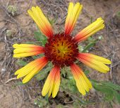 pic of xeriscape  - closeup of blanketflower - JPG
