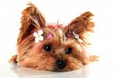 stock photo of yorkshire terrier  - Yorkshire terrier puppy with pink dyed hair - JPG