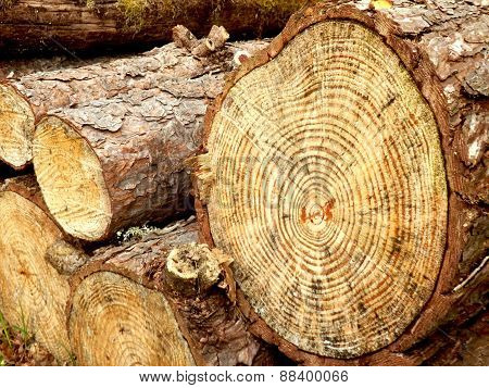 Cross section of a pine tree