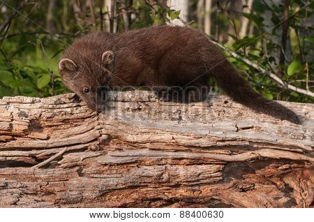 Young Fisher (martes Pennanti) Looks Down On Log