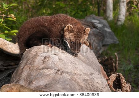 Young Fisher (martes Pennanti) Crawls Across Log