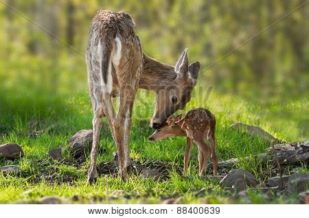 White-tailed Deer (odocoileus Virginianus) Mother And Fawn