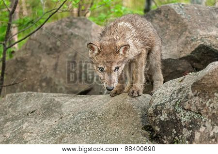 Grey Wolf (canis Lupus) Pup Looks Down From Atop Rock