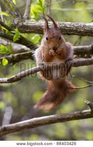 Eurasian red squirrel eating and looking into the camera
