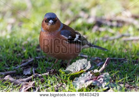 Common chaffinch standing in green grass