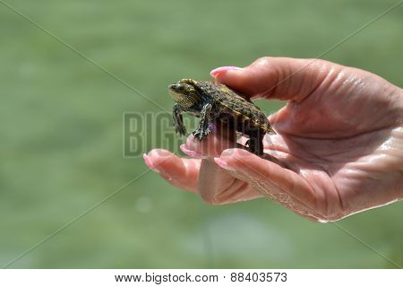 Little turtle cared with female fingers