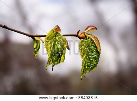 Young Tree Buds