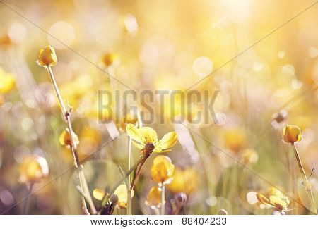 Background With Yellow Buttercups.