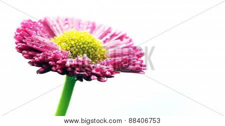 Fresh spring daisy flower isolated on white. Pink.