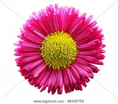 Fresh spring daisy flower isolated on white. Pink, close-up