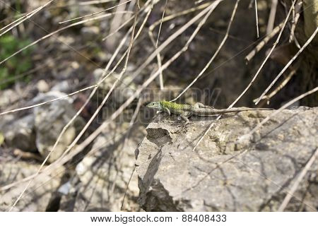 The Balkan Green Lizard Walking On Rock, Lacerta Trilineata. This Species Of Lizard In The Lacertida