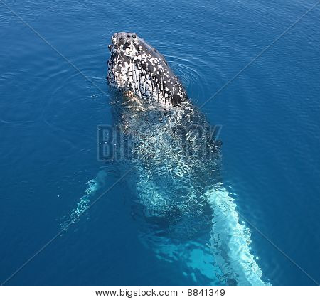 Humpback Whale photographed from boat Hervey Bay