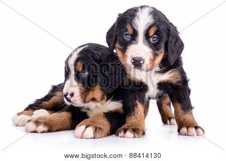 Puppies Bernese Mountain Dog
