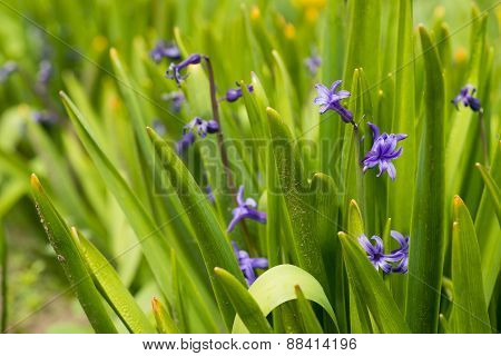 Blue Hyacinth Bunch Outdoors - Spring Flowe
