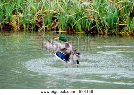 Airbound Mallard Duck