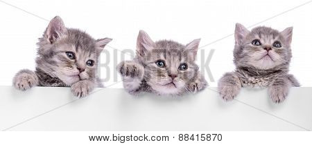 Three Scottish Kitten