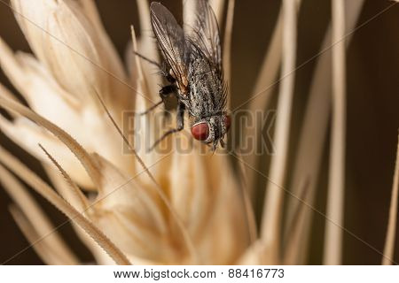 Fly on wheat macro