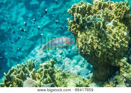 Red sea coral reef fish