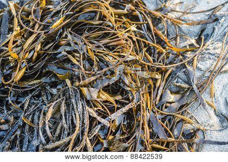 Laminaria (kelp) Seaweed On Sea Sand