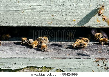 Close Up Of Bees Entering Their Hive
