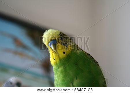 Curious parakeet